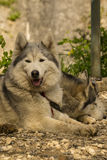 Two Husky dogs resting Stock Image