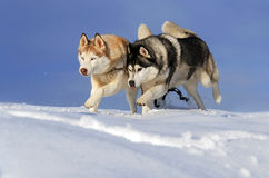 Two husky dogs running. In the snow Stock Images