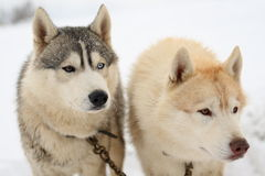 Two husky dogs in snow. Two husky dogs chained together with white snowy background royalty free stock photos