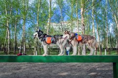 Two husky dogs are standing on a boom during agility training on a dog playground. Side view on background of the green foliage. stock photography