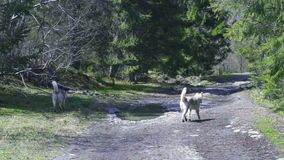 Two husky dogs walking in forest stock video