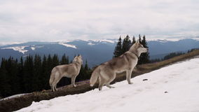 Two husky dogs walking in mountains stock video footage