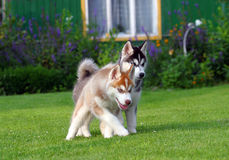 Two husky puppets Royalty Free Stock Photo