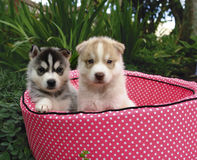 Two husky puppies Royalty Free Stock Photos