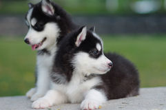 Two Husky puppies Royalty Free Stock Photography