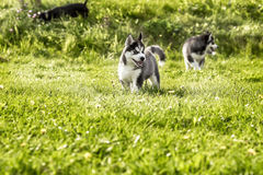 Two husky puppy running around the meadow Royalty Free Stock Image