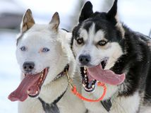 Husky sled dogs at work. Two husky sled dog running fast with tongue outside by winter day Royalty Free Stock Image