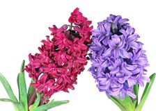 Two hyacinth Stock Image