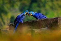 Two Hyacinth Macaw, Anodorhynchus hyacinthinus, blue parrot. Portrait big blue parrot, Pantanal, Brazil, South America. Beautiful. Rare bird in the nature royalty free stock photos