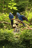 Two Hyacinth Macaws. The hyacinth macaw is a beautiful bird, deep cobalt blue in colour, with a golden eye ring and bill base. it is found in brazil and royalty free stock images