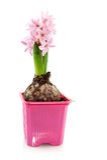 Two hyacinths Stock Image