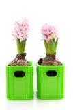 Two hyacinths Stock Photos