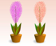Two hyacinths in pots Stock Image