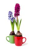 The two hyacinths Royalty Free Stock Photos
