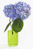 Two Hydrangea Blooms in Green Vase on White Royalty Free Stock Photos