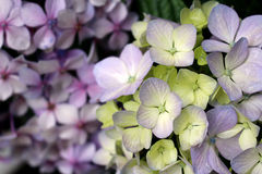 Two Hydrangea macrophylla Hortensia Royalty Free Stock Images