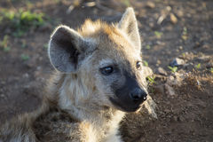 Two hyena lying down looking and observing young Stock Image