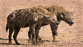 Two hyenas Stock Image