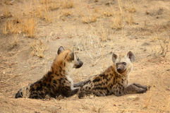 Two hyenas resting during the hot daytime hours Royalty Free Stock Images