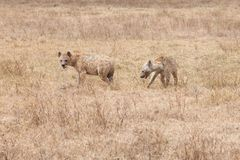 Two hyenas in Savanna of Tanzania, Africa, Crocuta crocuta, spotted hyena Royalty Free Stock Photos