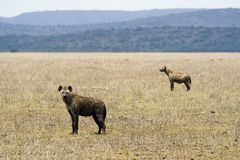Two hyenas standing, watching Stock Photography