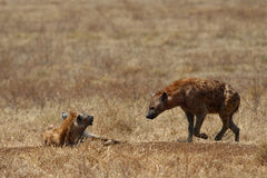 Two hyenas walking in savanna Stock Photography