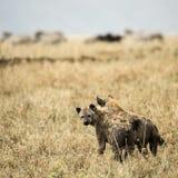 Two hyneas standing, Serengeti, Tanzania Royalty Free Stock Photos