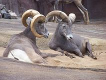 Two ibex. Es in the zoo from Hamburg Stock Image