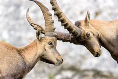 Two ibex fawn fighting. With their horns stock photo