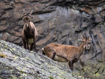 Two ibex Royalty Free Stock Photo