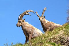 Two ibexes near Champagny en Vanoise. Two ibexes sitting on grass Stock Images