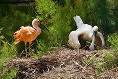 Two ibis bird Stock Images