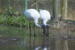 Two ibis Stock Photography