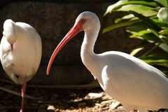 Two ibis birds and a plant Royalty Free Stock Image