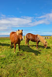 Two Icelandic bay horses Royalty Free Stock Images