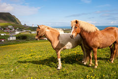 Two Icelandic horses on a background of Vik town, Iceland Royalty Free Stock Image