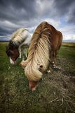 Two Icelandic horses eating grass.  Royalty Free Stock Photography