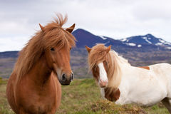 Two icelandic horses in a field Stock Photo