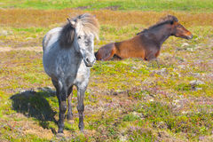 Two Icelandic Horses. Gray and brown Royalty Free Stock Photos