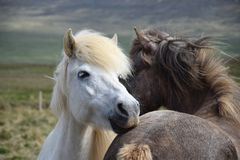 Two Icelandic horses, grooming each other. One horse in front is white stock photography