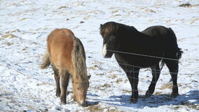 Two Icelandic horses on a meadow. In spring stock footage