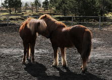 Two Icelandic horses nuzzle Royalty Free Stock Image