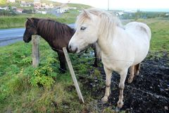 Two Icelandic Horses. One black and one white, are shown near a fence in Iceland Royalty Free Stock Photography