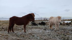 Two Icelandic horses. Icelandic horses on pasture- Iceland stock video