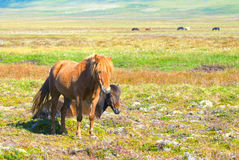 Two Icelandic Horses. Reddish and brown Royalty Free Stock Photography