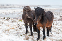 Two Icelandic horses stand on snow Stock Photo