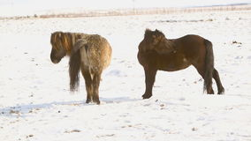 Two Icelandic horses take care of each other. In wintertime stock video footage