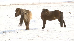 Two Icelandic horses take care of each other stock video footage