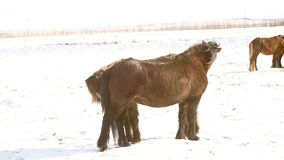 Two Icelandic horses take care of each other. In wintertime stock video
