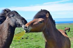 Two Icelandic horses with their heads together, one teasing the other. Bay and black. royalty free stock photography